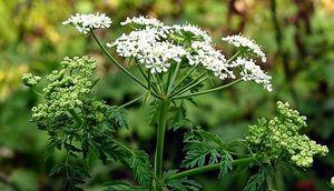 Болиголов - ядовитое растение