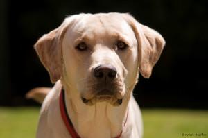 Описание собак породы лабрадор ретривер