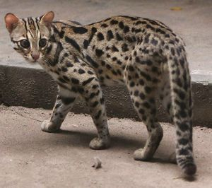 Особенности и внешний вид бенгальской кошки