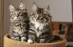 Уход и содержание норвежского кота