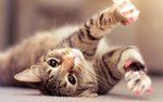 Самая ласковая порода кошек