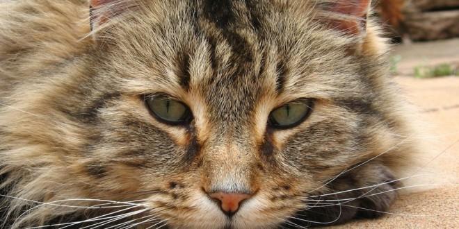 Что нужно знать о стерилизации (кастрации) кошек