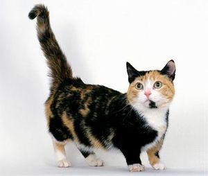 Уход за котами манчкин