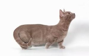 Фото кошки породы манчкин