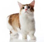 Кошки манчкин