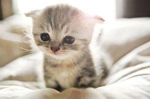 Фото котенка манчкин