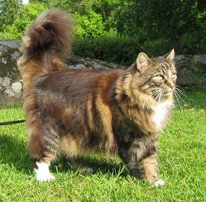 Внешний вид норвежской кошки