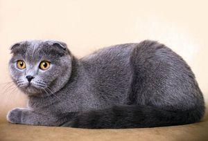Стандарт породы шотландская вислоухая кошка