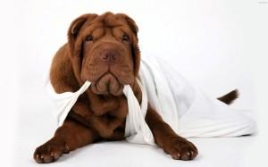 Описание собак породы шарпей