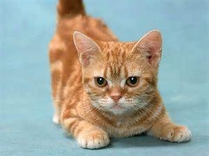 Характер кошек породы манчкин