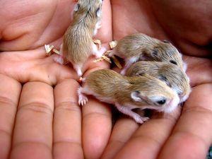 Новорожденные джунгарские хомяки
