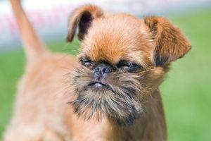 Чем кормить собаку гриффон