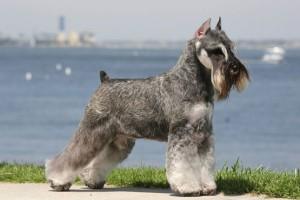 Описание породы собак миттельшнауцер