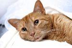 Токсоплазмоз: симптомы у кошек