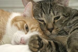 Как выбрать самую ласковую породу кошек