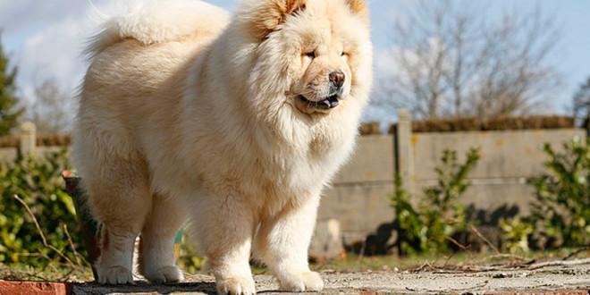 Чау-чау — монастырские псы