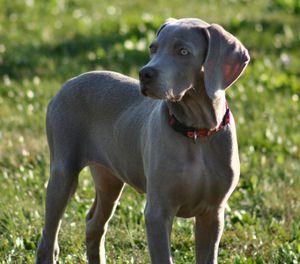 Фотография собаки породы веймаранер