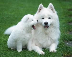 Описание породы собак самоед