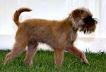 Порода собак грифон