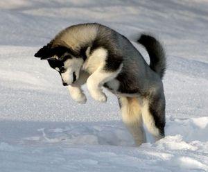 Хаски - снежный герой