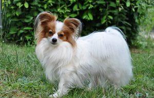 Папийон - идеальная комнатная собака
