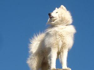 Описание самоедской собаки