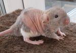 """Крысенок """"дабл-рекс"""""""