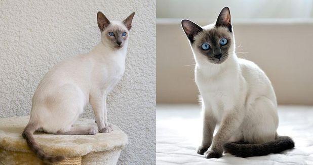 Чем отличаются породы кошек сиамская и тайская