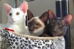 Отзывы хозяев сиамской кошки