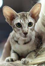 Отзыв владельца о котенке-девочке ориентальной породы