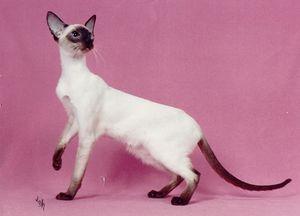 Стандарт сиамской кошки