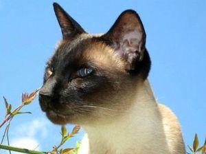 Сиамская кошка: содержание и уход