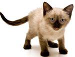 Имена для сиамских кошек девочек