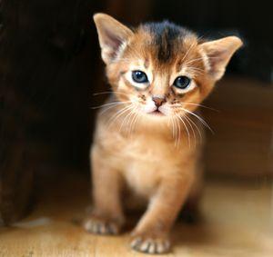 Окрасы абиссинских кошек