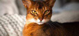 Абиссинская кошка — порода без прошлого