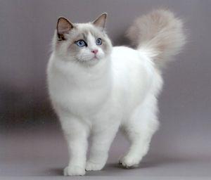 Кот рэгдолл