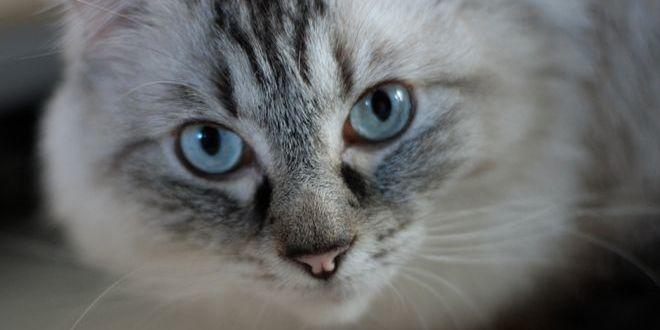 Рэгдолл — кошка или игрушка?