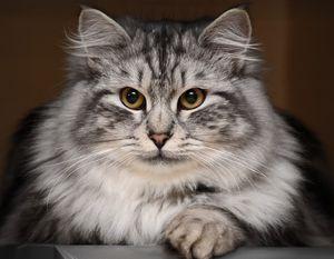 История сибирских кошек