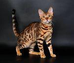 Окрасы бенгальских кошек
