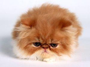 Характер персидской кошки