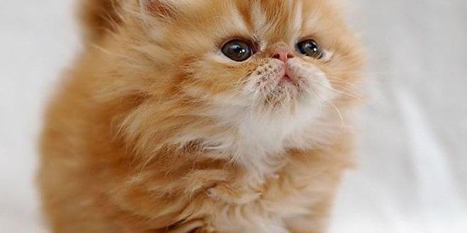Персидская кошка — порода с лицом ребенка