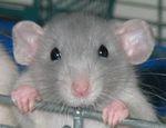 Болезни домашних крыс