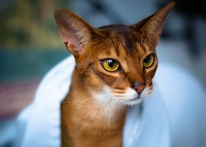 Содержание абиссинской кошки