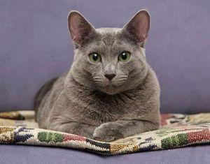 Содержание русской голубой кошки