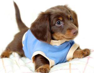 Порода собак такса