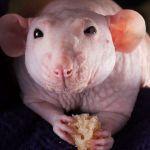 Лысая крыса обедает