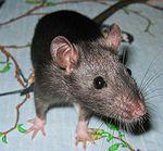 Крыса в домашних условиях