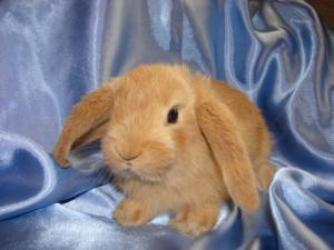 Содержание карликового кролика барана