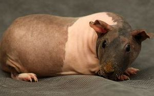 Уход за кожей лысых свинок