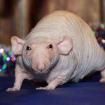 Домашняя бесшерстная крыса фото